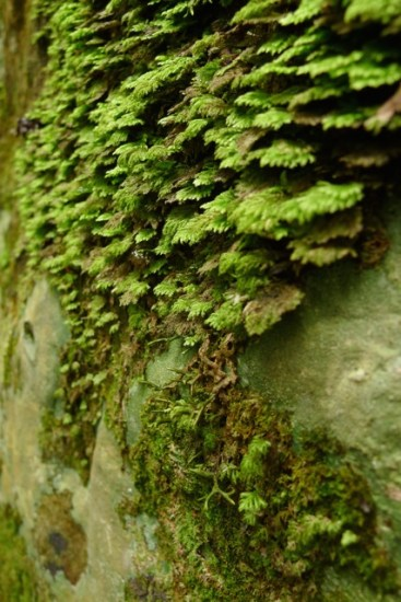 Ferns, lichen & moss on a boulder