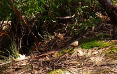Rock Warbler along the Prince Henry Cliff Walk