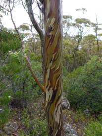 Absolutely stunning bark on this snowgum