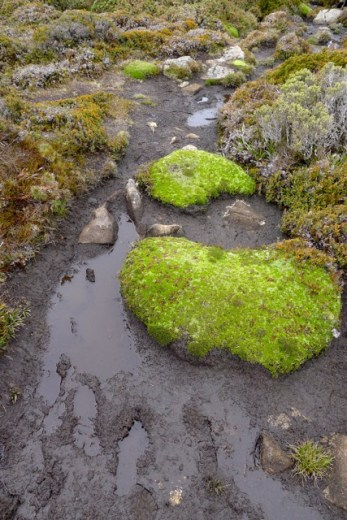 Cushionplants are bright spots of green in the landscape