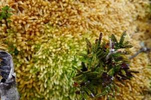 Possibly a sphagnum(?) moss with Alpine coral fern (Gleichenia alpina) I think