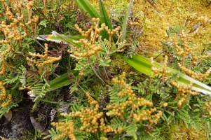 Pouched coral fern (Gleichenia dicarpa) with a Pineapple grass (Astelia aplina) poking through, and some sphagnum moss towards the top right of the photo