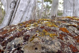 Rust coloured mosses and lichens on a boulder