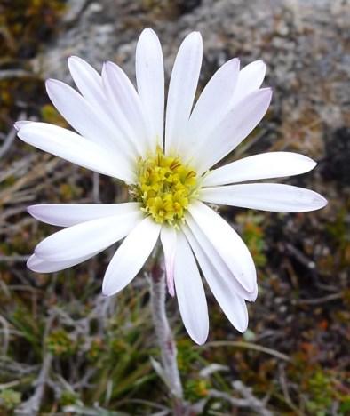 Silver snowdaisy (Celmisia asteliifolia)