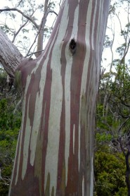 The patterns and colours of gums trees are amazing