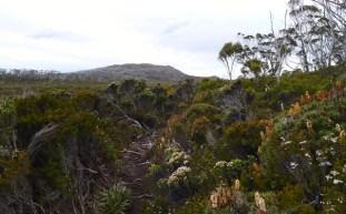 The Scoparia and Mountain Everlasting bush is plentiful around here