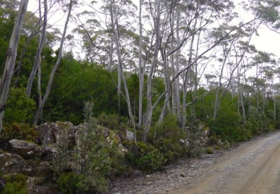 The tall green 'bush' behind the rocks along the Lake Dobson Road are Fagus in their summer foliage