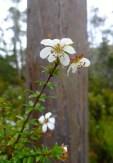 Wiry bauera (Bauera rubioides)