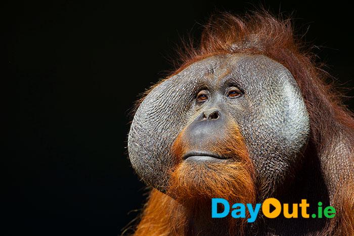 Orangutan Forest Habitat Opens at Dublin Zoo