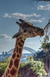 giraffe3a