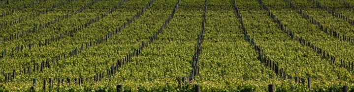 grape-vines-mclaren-vale