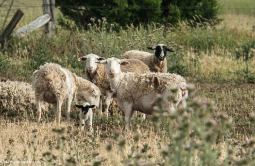mob of sheep (1 of 1)