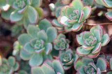Succulentflerr