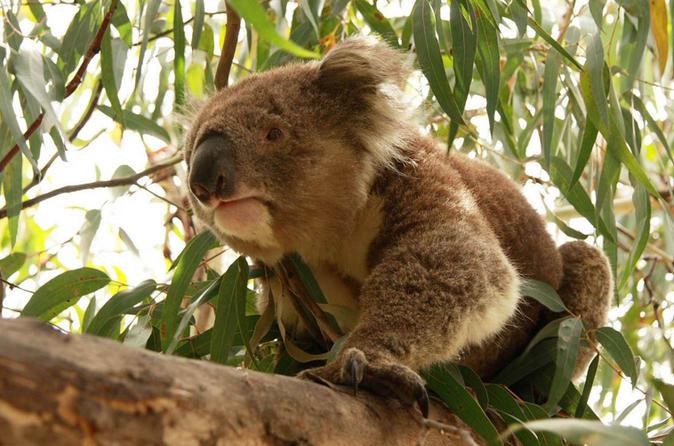 Koalas on the Penguin Parade Tours