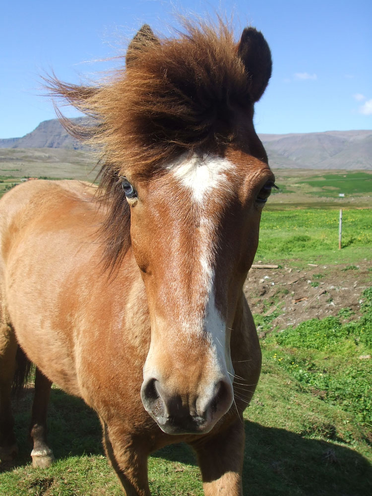 Laxnes Special Horseback Riding In Iceland