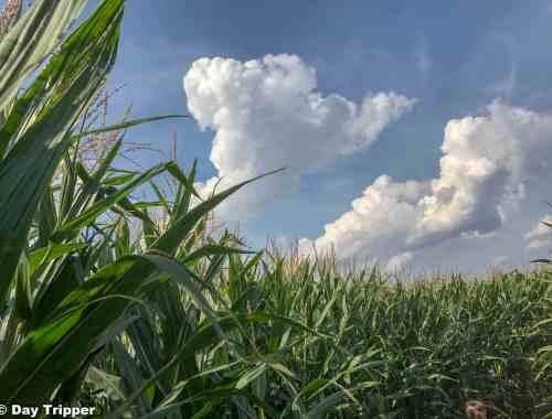 Lost inside Severs Corn Maze