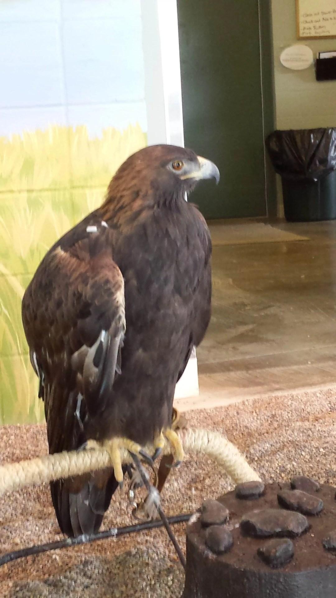 Golden Eagle at the National Eagle Center in Wabasha