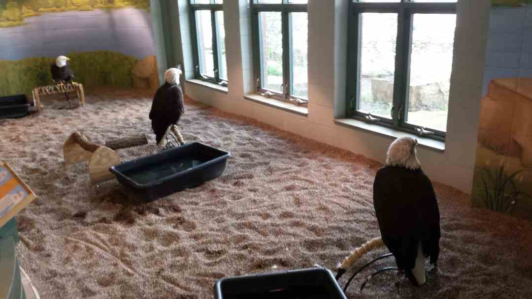 Eagles at the National Eagle Center in Wabasha