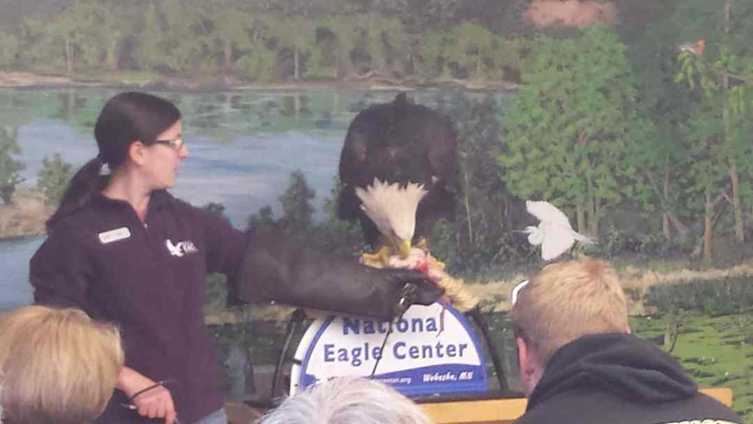 Eagle Eating