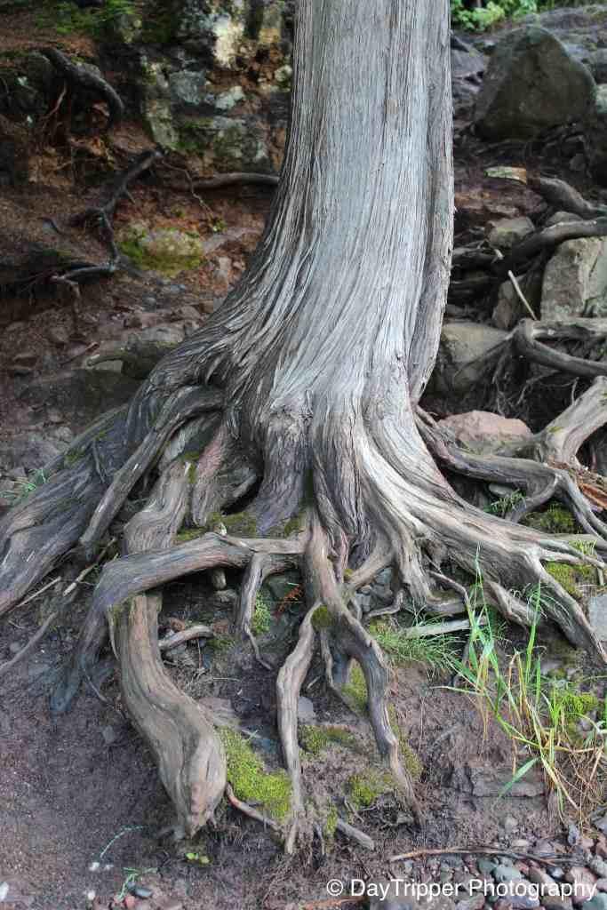 Tree Roots at Gooseberry Falls