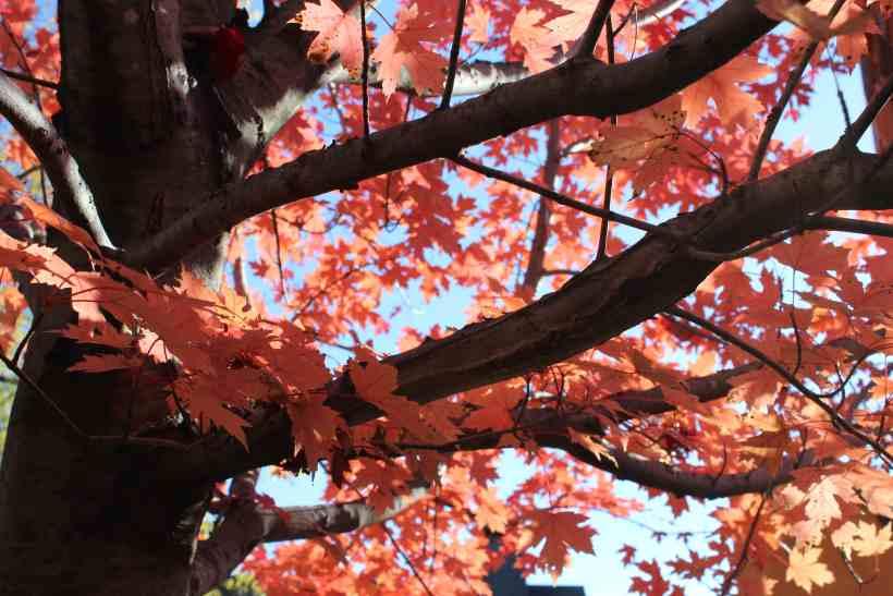 Autumn Tree at the MN Zoo