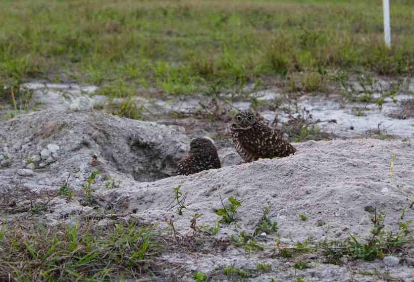 Burrowing Owl on Marco Island Florida