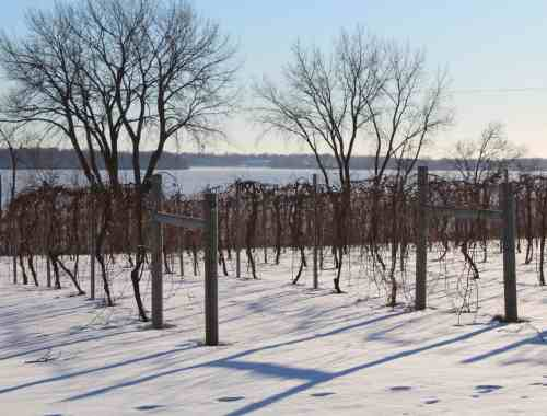 Grape Vines in Winter Sovereign Estates