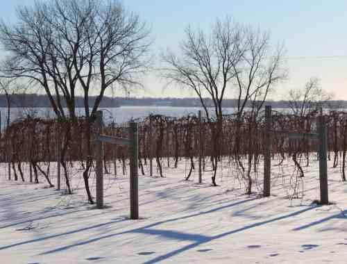 Grape Vines in Winter Sovereign Estates