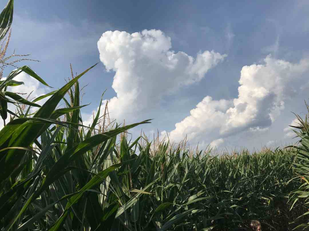 The Corn Field