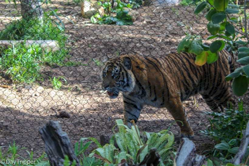 When is the best time to see the Tigers at the Zoo?