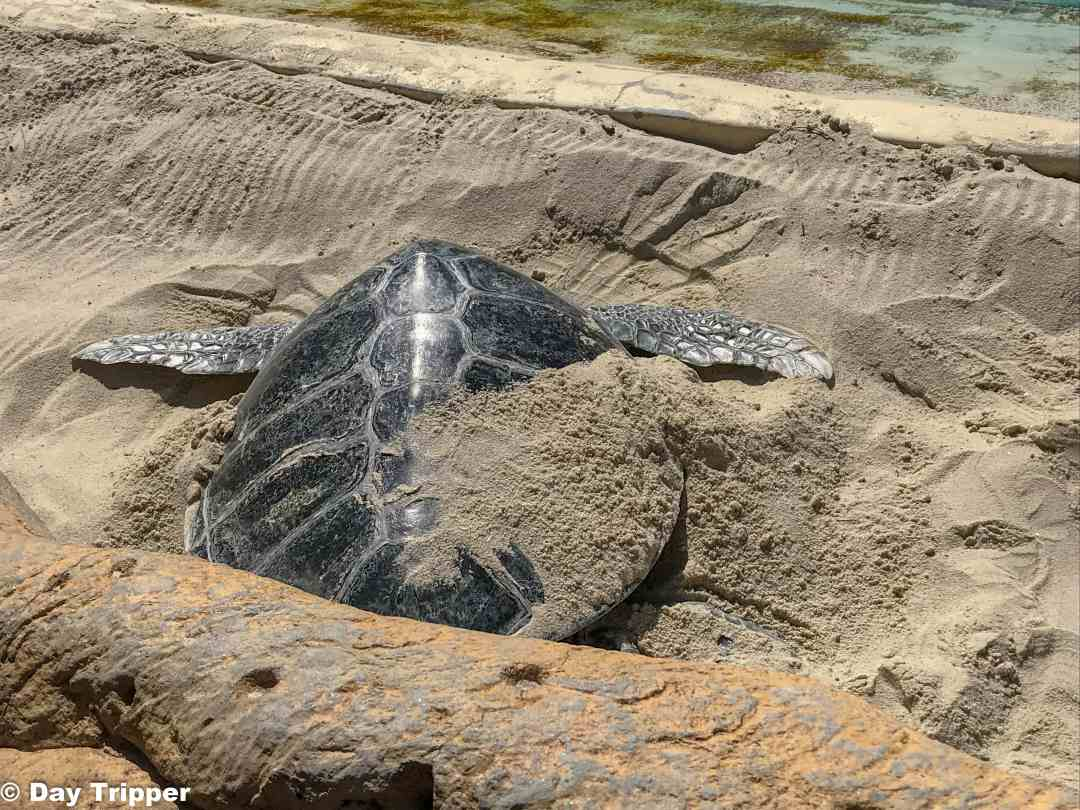 Sea Turtle digging in sand at SeaWorld