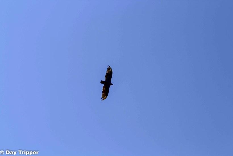 Golden Eagle over Devils Tower