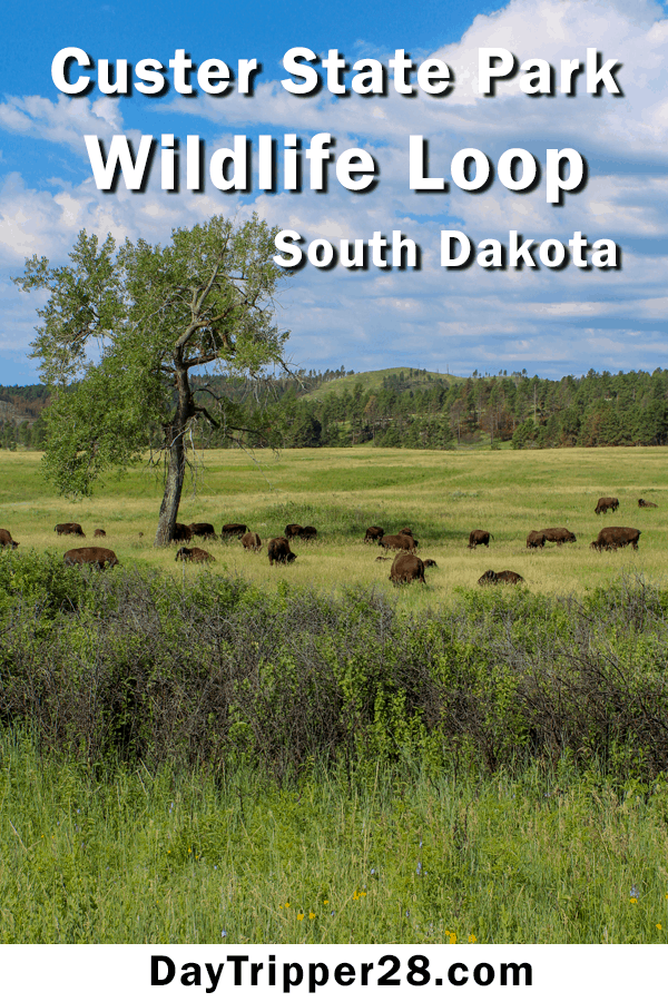 The Wildlife Loop at Custer State Park. South Dakota | Outdoors | Camping | Epic Drives | State Parks