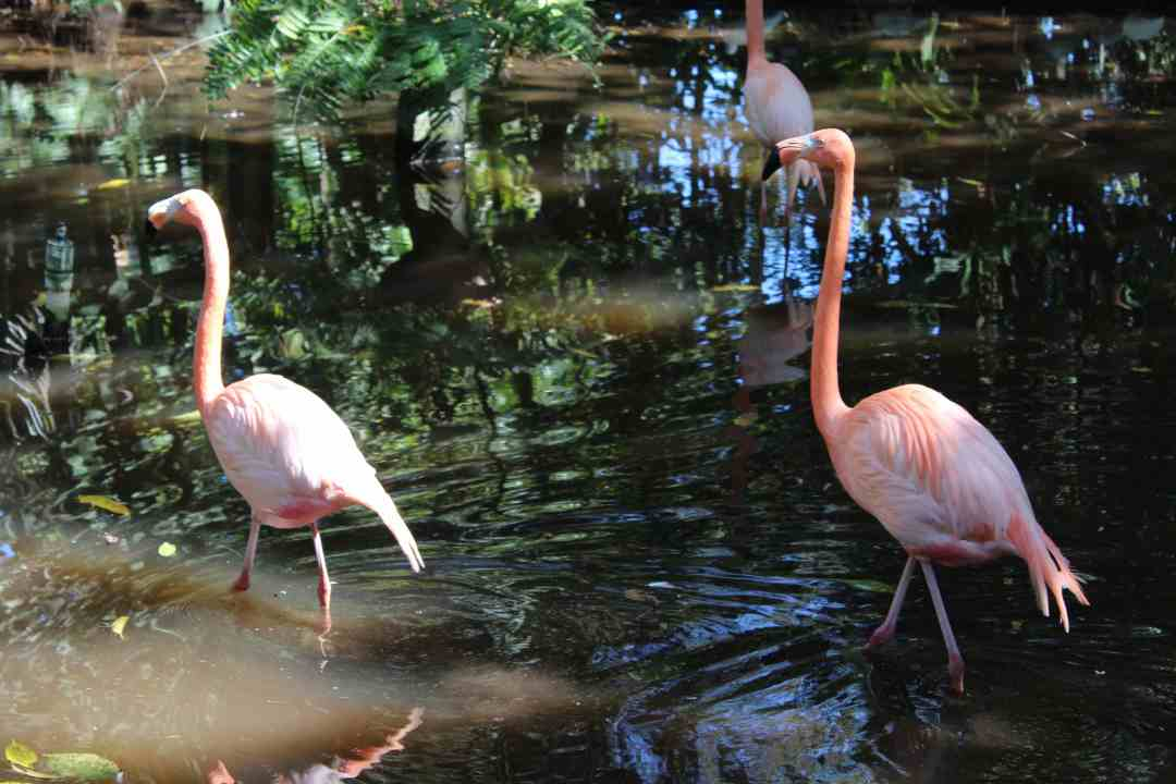 Flamingos at the Everglades Wonder Graden