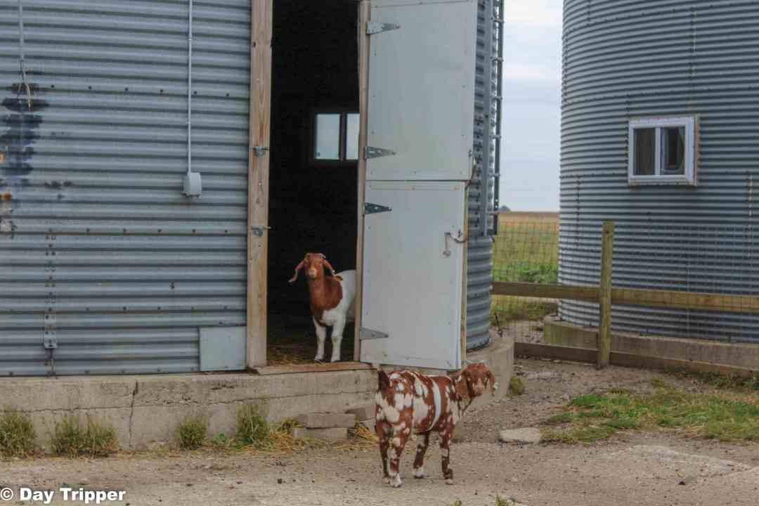 Goats in a barn
