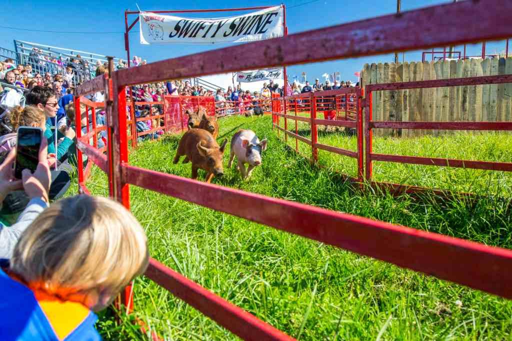 Pig Races at Severs Corn Maze