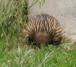 Echidna at the bottom of the garden 2011