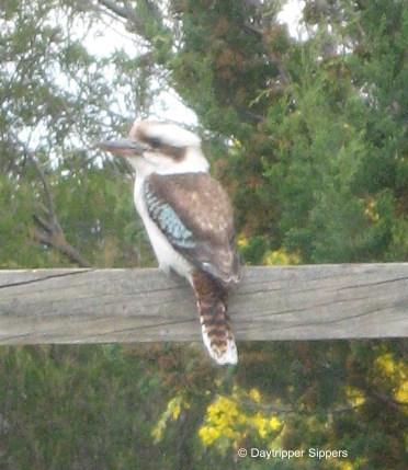 Kookaburra on the vegie garden gate 2011