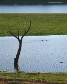 Gum tree in Lake Burrinjuck, Good Hope Road, New South Wales