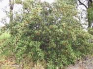 Cotoneaster 2 meter bush