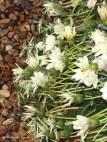 Gazanias. A pretty daisy from South Africa.