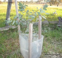 Ironbark tree sapling planted 2014