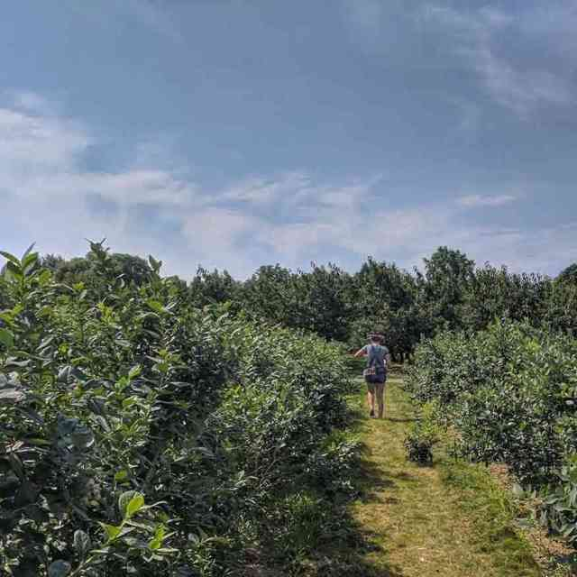 Rochester day trip: Pick Your Own Blueberries