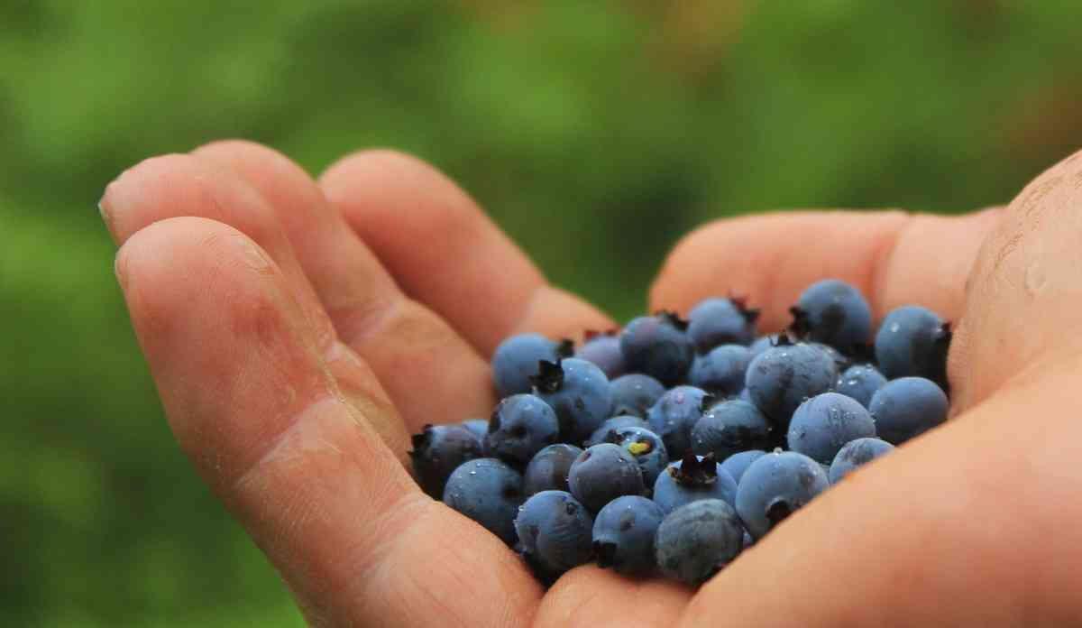 Pick Your Own Blueberries around Rochester NY