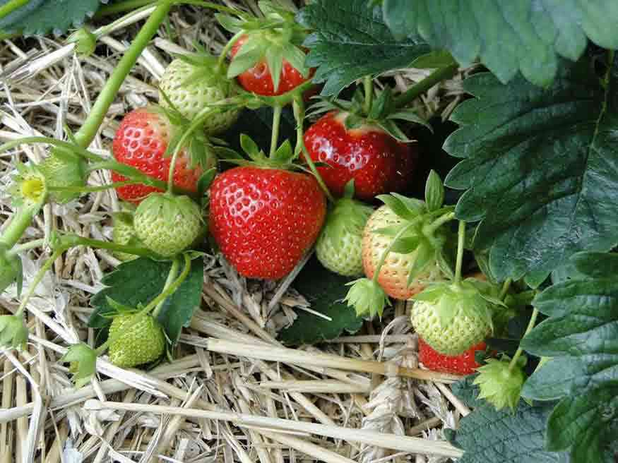 Strawberries: 11 Places to Pick Your Own Around Rochester