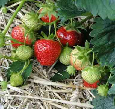2017 Favorite Day Trips: Pick Your Own Strawberries