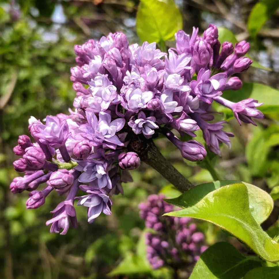 springtime in Rochester: Highland Park Lilacs