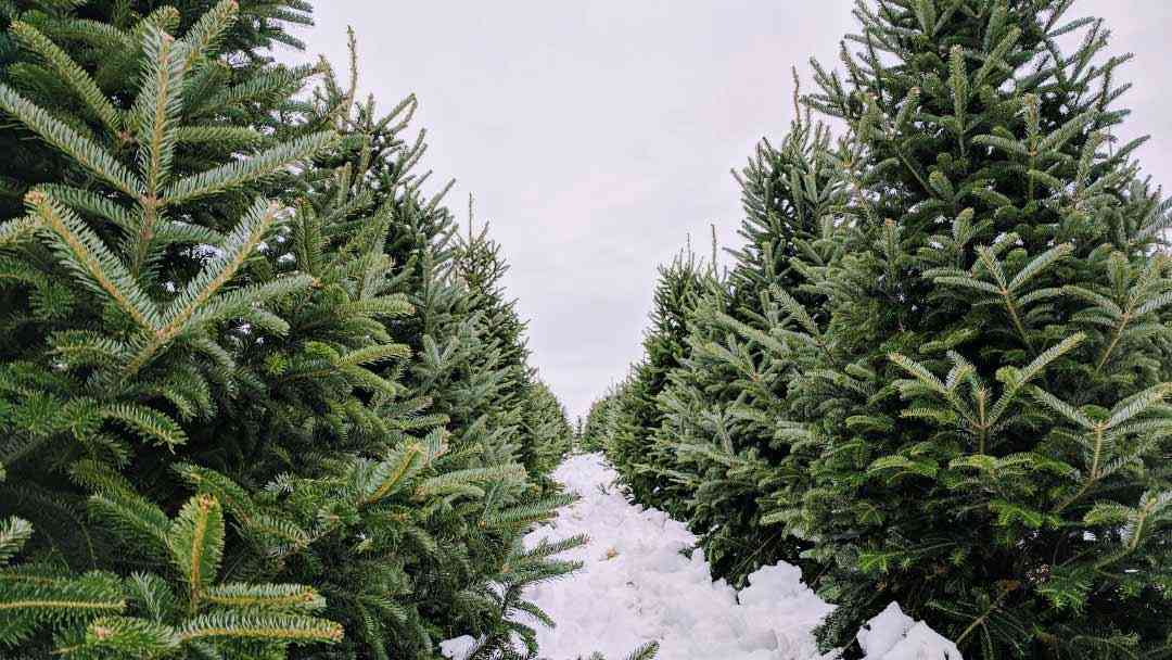 16 Places to Cut Your Own Christmas Tree Around Rochester