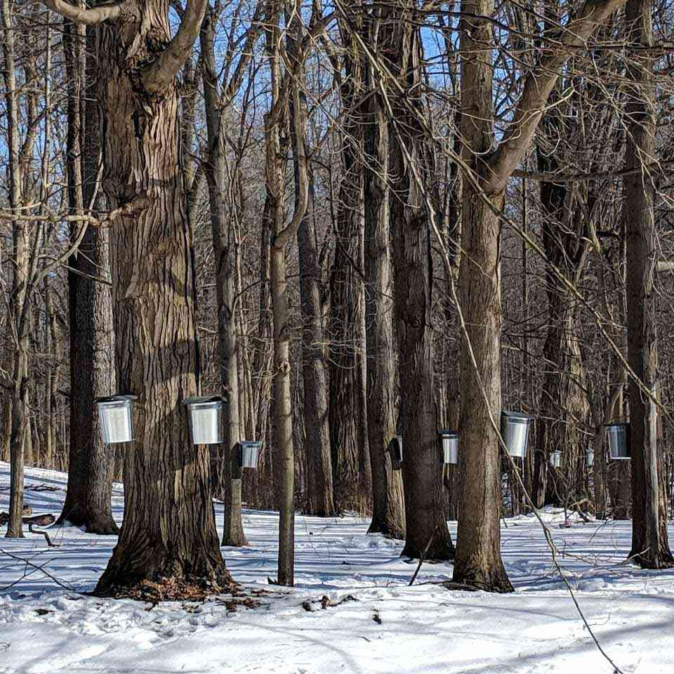 Tapped Maple Trees Letchworth