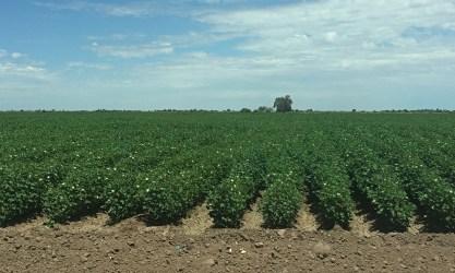 Cotton fields.